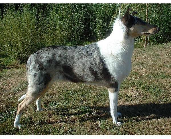 Collie Smooth - Raza de Perro