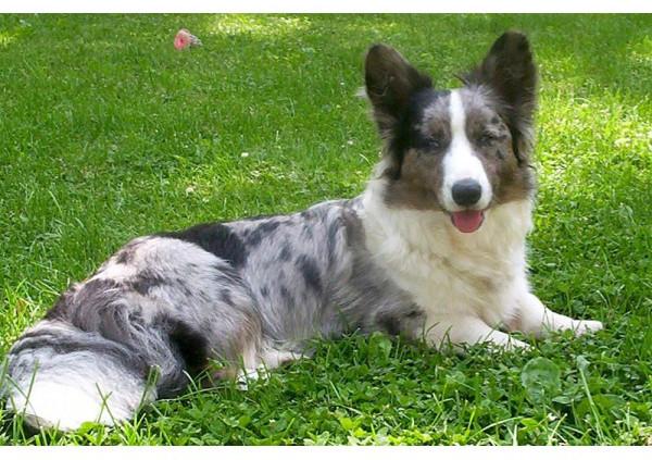 Corgi Galès Cárdigan - Raza de Perro