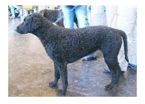 Curly Coated Retriever (pelo rizado) - Raza de Perro