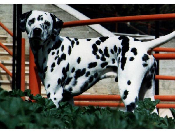 Dálmata - Raza de Perro