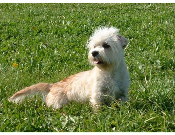 Dandie Dinmont Terrier - Raza de Perro