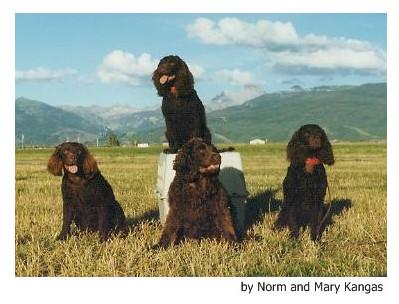 Perro de Agua Americano - Raza de Perro