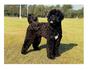 Perro de Aguas Portugués - Raza de Perro