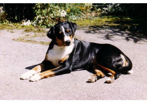 Perro de Montaña Appenzell - Raza de Perro