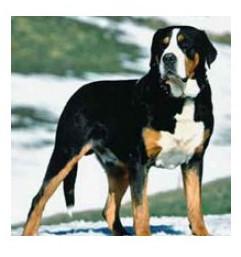 Perro de Montaña Gran Suizo - Raza de Perro