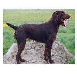 Perro de muestra alemán de pelo cerdoso - Raza de Perro
