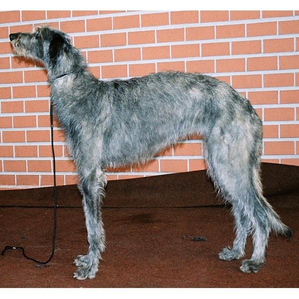 Deerhound Escocés - Raza de Perro