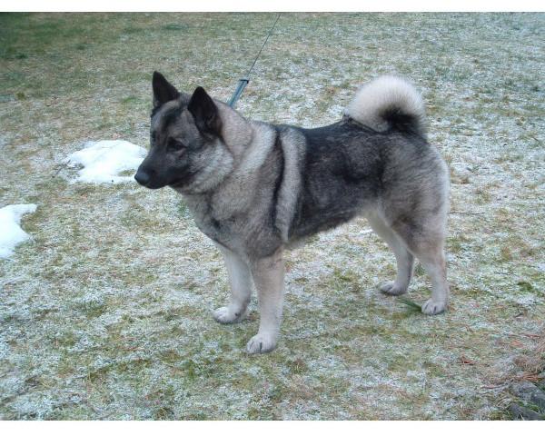 Elkhound Noruego - Raza de Perro