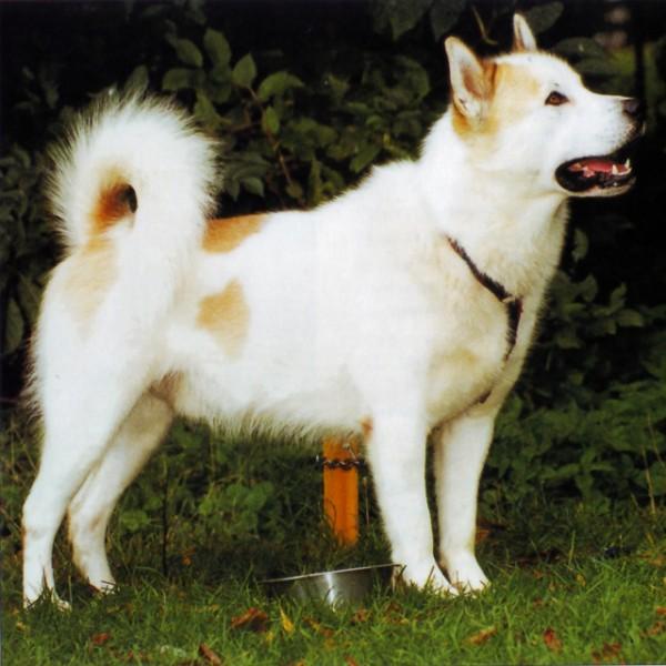 Perro Esquimal Canadiense - Raza de Perro