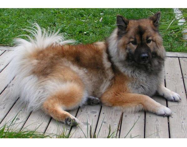 Eurasier - Raza de Perro