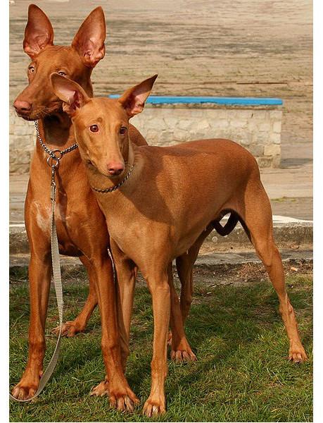 Faraón Hound -Raza de Perro