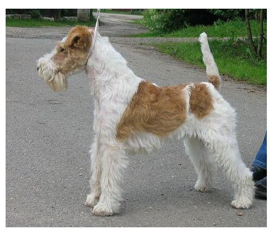 Fox Terrier de Pelo Duro o Alambre - Raza de Perro