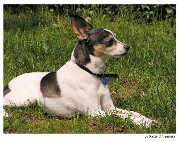 Fox Terrier Toy - Raza de Perro