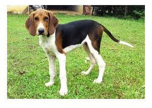 Foxhound Americano - Raza de Perro