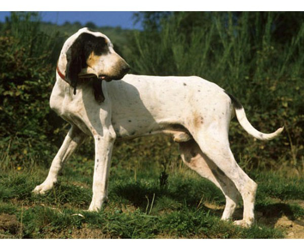 Gascon Saintongeois - Raza de Perro