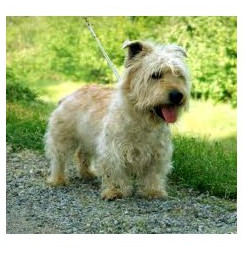 Glen Of Imaal Terrier - Raza de Perro