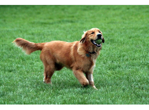 Golden Retriever - Raza de Perro