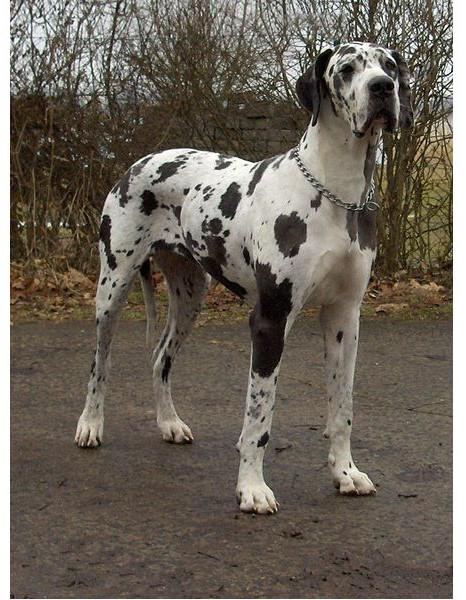 Gran Danés - Raza de Perro