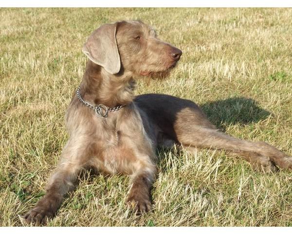 Grifon de muestra eslovaco de pelo duro - Raza de Perro