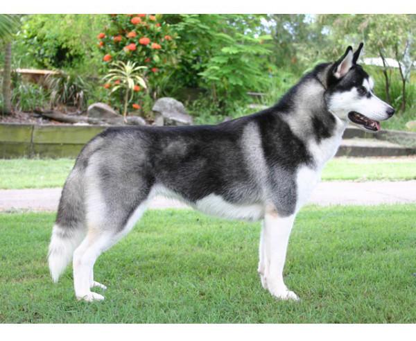 Husky Siberiano - Raza de Perro