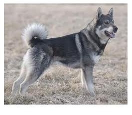 Jamthund - Raza de Perro