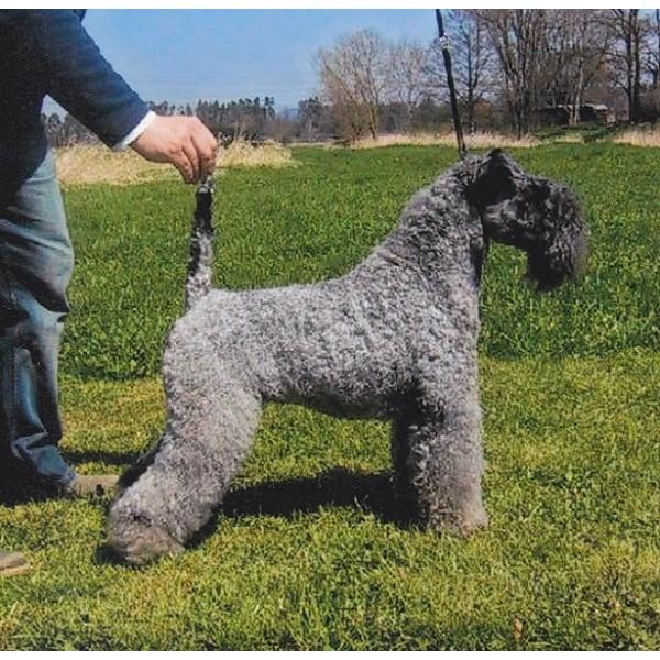 Kerry Blue Terrier - Raza de Perro
