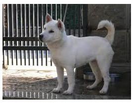 Kishu - Raza de Perro