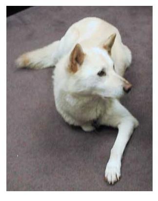 Korea Jinco Dog - Raza de Perro