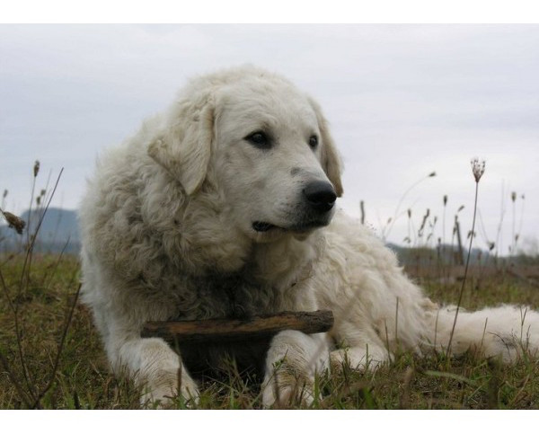 Kuvasz - Raza de Perro