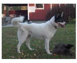 Laïka de Siberia oriental - Raza de Perro