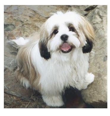 Lhasa Apso - Raza de Perro