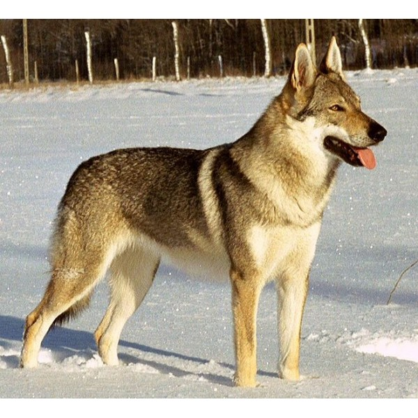 Perro Lobo Checoslavaco - Raza de Perro