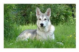 Perro lobo de Sarloos - Raza de Perro