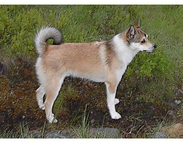 Lundehund noruego - Raza de Perro