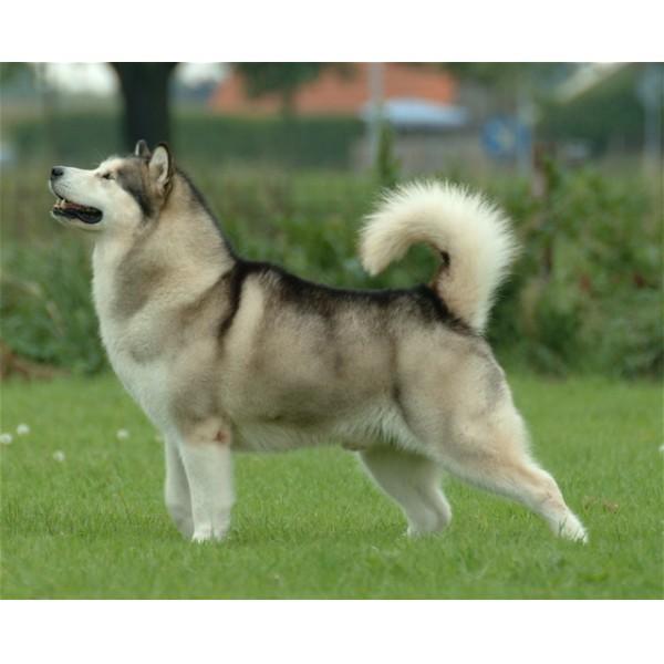Malamute de Alaska - Raza de Perro