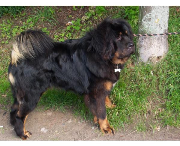 Mastín Tibetano - Raza de Perro