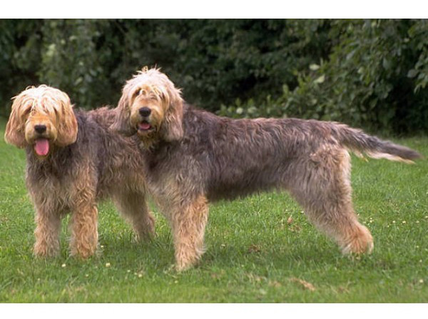 Otterhound - Raza de Perro
