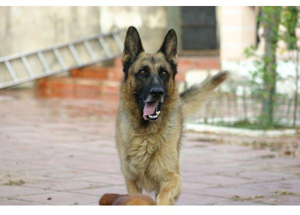 Pastor Alemán - Raza de Perro