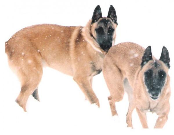 Pastor Belga - Raza de Perro