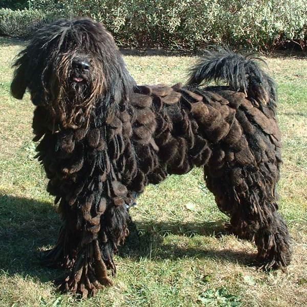 Perro de pastor bergamasco - Razas de Perros