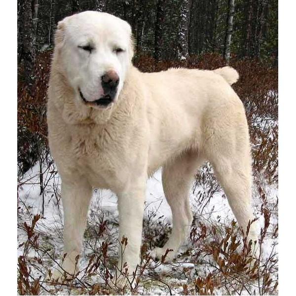 Perro de pastor de Asia Central - Raza de Perro