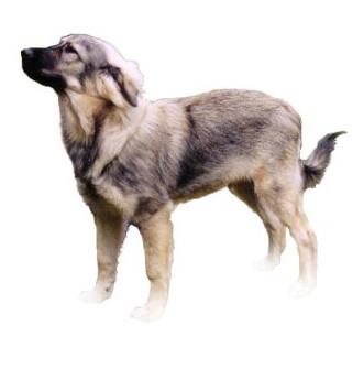 Perro de pastor de Karst - Raza de Perro
