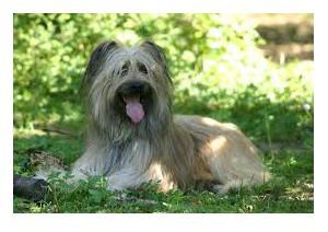 Pastor de Los Pirineos - Raza de Perro