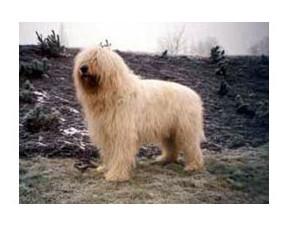 Perro de pastor de Rusia Meridional - Raza de Perro