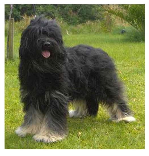 Perro de pastor polaco de Podhale - Raza de Perro
