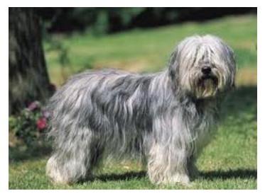 Pastor Polaco de Tierras Bajas - Raza de perro