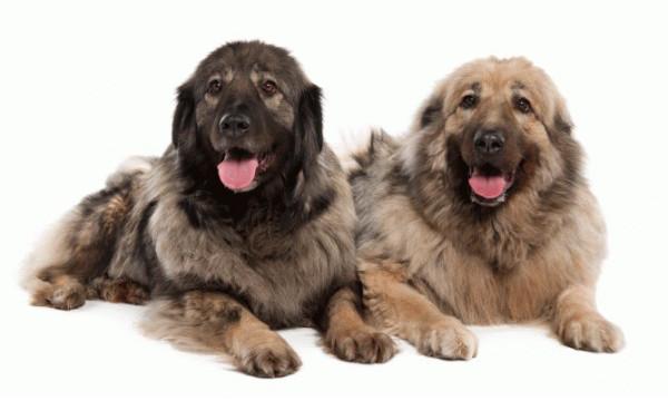 Perro de Pastor yugoslavo de Charplanina - Razas de Perros