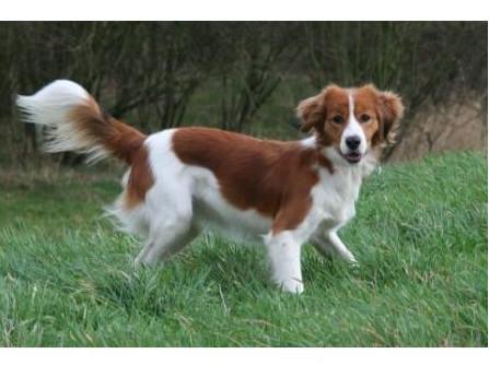 pequeño perro holandés para caza acuática - Raza de Perro