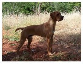 Perdiguero portugués - Raza de Perro