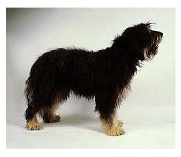 Perro de pastor portugués - Raza de Perro